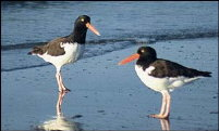 Oystercatchers at Carsethorn